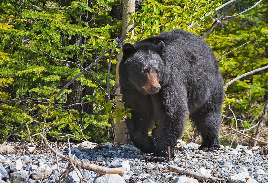 Erlebnisreise Osten Kanada, Schwarzbär