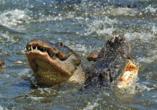 Busrundreise Florida, Alligator