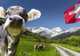 Hotel Eden in Saas-Grund, Kuh in den Schweizer Alpen