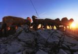Bergresort Seefeld, Schafe auf Berggipfel