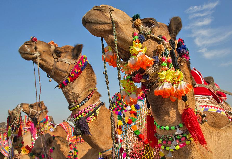 Erlebnisreise Indien, Kamele