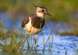 Mecklenburgische Seenplatte, Vogel
