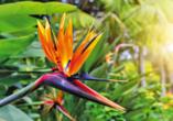 Rocamar Lido Resorts in Caniço, Paradiesvogelblume