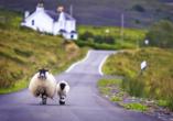 Kurzreise Schottland, Schaf