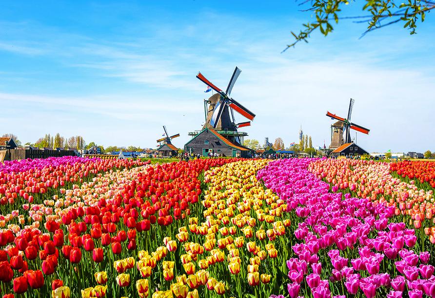 Hollands Tulpenblüte erleben, Zaanse Schans
