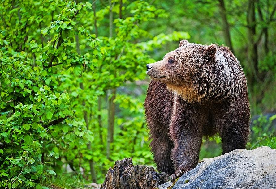 Beobachten Sie viele heimische Tiere wie die majestätischen Braunbären im Wildpark Knüll.