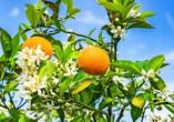 Hotel Sensity Chillout Triton Beach Cala Ratjada, Orangenbäume