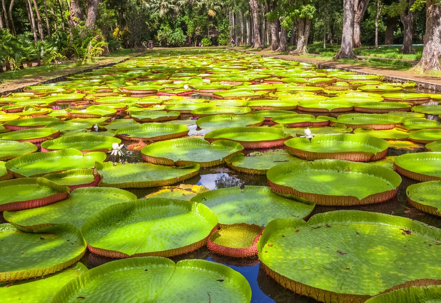 Bewundern Sie die grüne Vielfalt im Botanischen Garten von Pamplemousses.