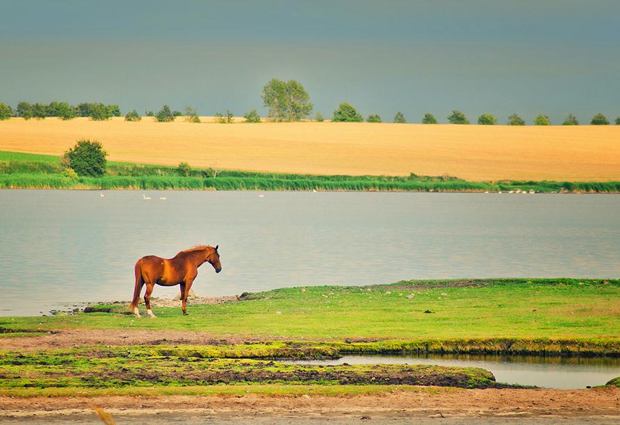Grasendes Pferd auf Poel.