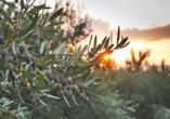 Olivenbaum und Sonnenuntergang in Griechenland.