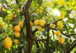 Beim Besuch eines Zitronengartens erwartet Sie ein betörender Duft.