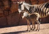 Süßer Nachwuchs bei den Zebras