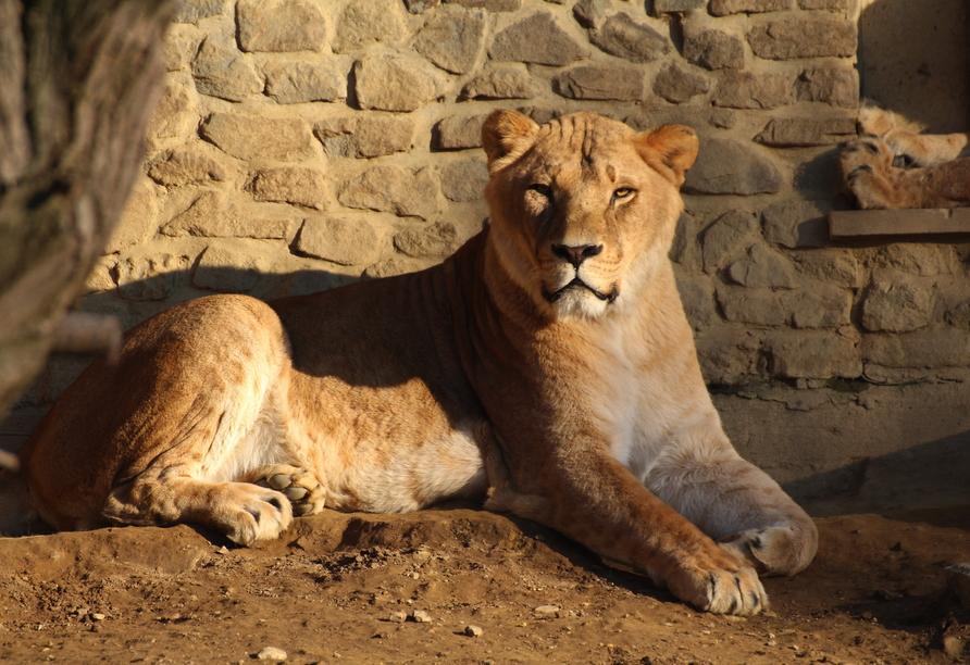 In Samburu im Zoo von Osnabrück erwarten Sie neben Löwen außerdem noch Netzgiraffen, Impalas, Große Kudus, Wasserböcke und Strauße.