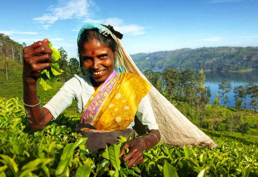 Vielleicht haben Sie auch Tee von Sri Lanka daheim im Schrank? Von den hiesigen Teeplantagen werden jeden Tag hunderte Kilo Teeblätter in die ganze Welt verschifft.