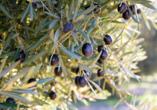 Nahaufnahme von Olivenbaum.